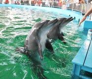 La gente da acariciar delfínes imagen de archivo libre de regalías