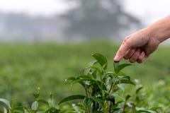La gente dell'agricoltore forma la foglia di tè asiatica indiana di funzionamento e di raccolto della donna dopo la pioggia nell' Fotografia Stock Libera da Diritti