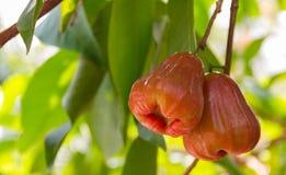 La gente di Rose Apple Thai ha chiamato il chomphu sull'albero nel Th del giardino Fotografia Stock