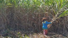 La gente está cortando la caña de azúcar Fotografía de archivo libre de regalías