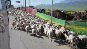 La gente está reuniendo ovejas cerca provincia de Xining, Qinghai, China metrajes
