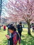La gente gode dei fiori di ciliegia della molla al ` s, alto parco di Toronto Immagini Stock