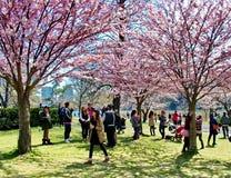 La gente gode dei fiori di ciliegia della molla al ` s, alto parco di Toronto Immagine Stock
