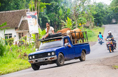 La gente indonesiana porta la loro mucca con il camioncino Fotografia Stock Libera da Diritti