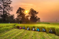 La gente nepalese che lavora in un riso sistema all'alba Fotografia Stock