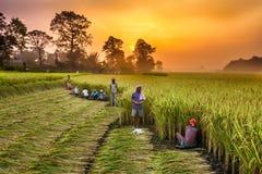 La gente nepalese che lavora in un riso sistema all'alba Immagine Stock Libera da Diritti