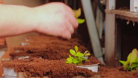 La gente plant? las plantas en los potes en el transportador, planta plant? el primer de las manos Transportador en el invernader almacen de metraje de vídeo