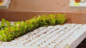 La gente plant? las plantas en los potes en el transportador, planta plant? el primer de las manos Transportador en el invernader metrajes