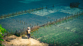 La gente raccoglie l'algal delle piantagioni dell'alga - Nusa Penida, Bali, Indonesia Immagine Stock