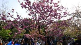 La gente rende ad immagini i fiori rosa di sakura, Tokyo, Giappone stock footage