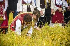 La gente si è vestita in vecchi vestiti di ethno alla raccolta manuale del riso Fotografia Stock Libera da Diritti