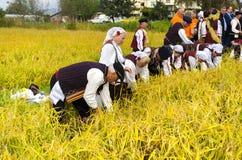 La gente si è vestita in vecchi vestiti di ethno alla raccolta manuale del riso Fotografia Stock