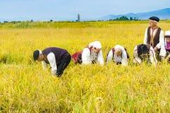 La gente si è vestita in vecchi vestiti di ethno a riso manuale che raccoglie l'aumento Immagini Stock Libere da Diritti