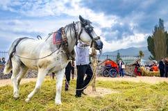 La gente si è vestita in vecchi vestiti di ethno a riso manuale che raccoglie la manifestazione facendo uso dell'animale del cava Fotografia Stock