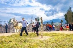 La gente si è vestita in vecchi vestiti di ethno a riso manuale che raccoglie la manifestazione facendo uso dell'animale del cava Immagini Stock Libere da Diritti