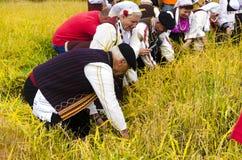 La gente si è vestita in vecchi vestiti di ethno a riso manuale che raccoglie la manifestazione il giorno soleggiato Fotografia Stock