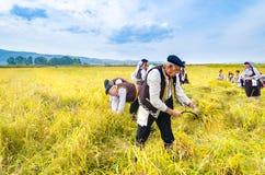 La gente si è vestita in vecchi vestiti di ethno a riso manuale che raccoglie la manifestazione il giorno soleggiato Immagini Stock