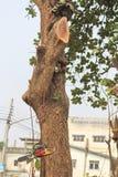 La gente sta tagliando gli alberi con un motore della motosega fotografia stock libera da diritti