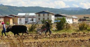 la gente tibetana 4k utilizza il terreno arabile dei forti yak in shangrila il Yunnan, porcellana stock footage