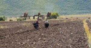 la gente tibetana 4k utilizza il terreno arabile dei forti yak in shangrila il Yunnan, porcellana archivi video
