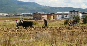 la gente tibetana 4k utilizza il terreno arabile dei forti yak in shangrila il Yunnan, porcellana video d archivio