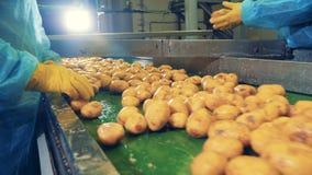 La gente trabaja en una planta de comida, cortando las patatas limpiadas almacen de metraje de vídeo