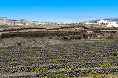 La Geria谷的,兰萨罗特岛海岛,加那利群岛葡萄园, 库存照片