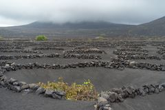Lanzarote, Canary Islands, Spain, Vineyard on the lava. La Geria, Lanzarote Island, Canary, Spain, Vineyards in dark lava soil royalty free stock photo