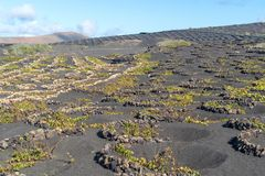 Lanzarote, Canary Islands, Spain, Vineyard on the lava. La Geria, Lanzarote Island, Canary, Spain, Vineyards in dark lava soil royalty free stock photography