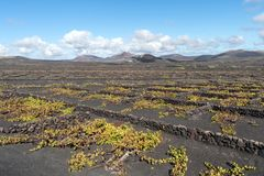 Lanzarote, Canary Islands, Spain, Vineyard on the lava. La Geria, Lanzarote Island, Canary, Spain, Vineyards in dark lava soil stock images