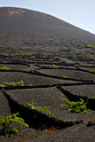 La geria wall grapes cultivation vine crops. La geria wall grapes cultivation viticulture winery lanzarote spain vine crops royalty free stock image