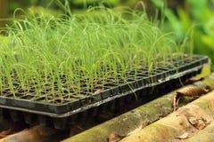 La germinación es la nueva vida de almácigos verdes Imagen de archivo