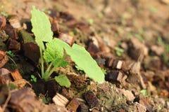 La germinación es la nueva vida de almácigos verdes Imagen de archivo libre de regalías