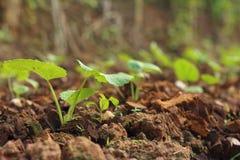 La germinación es la nueva vida de almácigos verdes Fotos de archivo