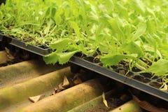 La germinación es la nueva vida de almácigos verdes Imagenes de archivo