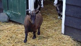 La giovane capra marrone olandese protegge le sue capre con i corni video d archivio