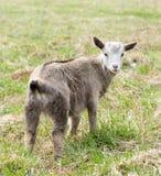 La giovane capra sta pascendo su un prato inglese Fotografia Stock Libera da Diritti