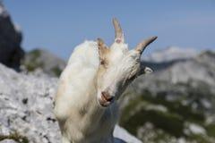 La giovane capra stranamente esamina la macchina fotografica, alpi della Slovenia Fotografie Stock