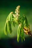 La giovane castagna copre di foglie spiegamento dal germoglio fresco immagini stock