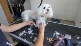 La giovane donna amorosa taglia con le forbici per il delineamento della lana Il piccolo cagnolino francese bianco si siede tranq video d archivio
