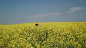 La giovane donna nel nero copre i camici che passa il hd commovente dei fiori del campo giallo video d archivio