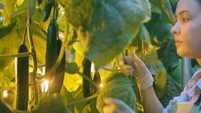 La giovane donna taglia i frutti dei cetrioli in serra sull'azienda agricola all'interno stock footage