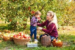 La giovane donna tiene il canestro delle mele Concetto della raccolta fotografia stock