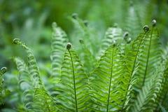 La giovane felce della foresta osserva molto insolita con i riccioli l'estremità delle foglie immagini stock libere da diritti
