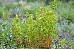 La giovane felce verde lascia la crescita su un fondo floreale naturale immagini stock libere da diritti