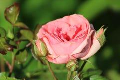 La giovane fioritura è aumentato nel giardino Immagine Stock