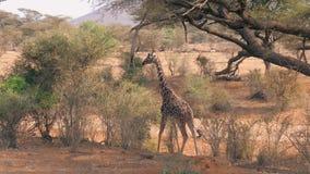 La giovane giraffa africana è approccio al cespuglio con fogliame verde e lo mangia archivi video