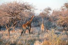 La giovane giraffa namibiana divertente stranamente sta esaminando la macchina fotografica Fotografia Stock Libera da Diritti