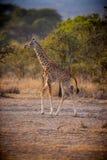La giovane giraffa sta alta alla luce di mattina Fotografia Stock