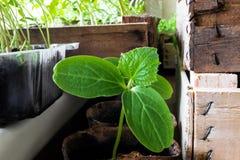 La giovane pianta del cetriolo che cresce a casa in primavera e aspetta per trapianto nel giardino del campo Fotografie Stock Libere da Diritti